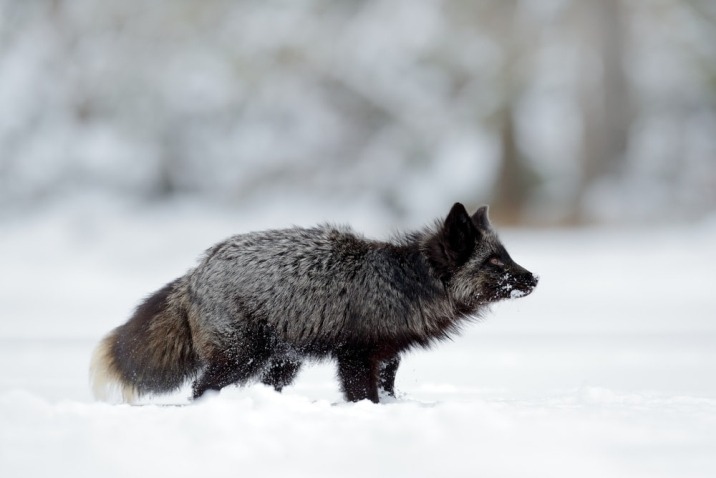 animal in the snow