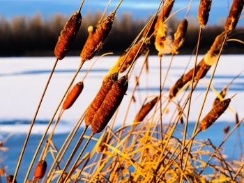 cattails at a lake